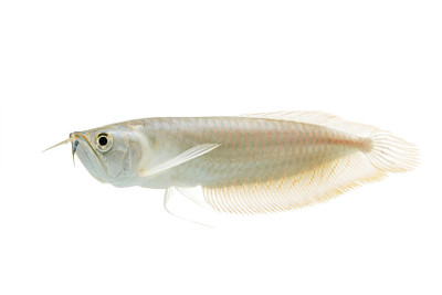 can silver arowana change colors