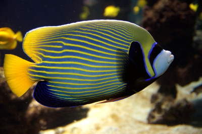 are emperor angelfish aggressive