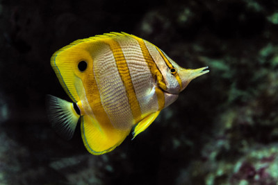are copperband butterflyfish reef safe
