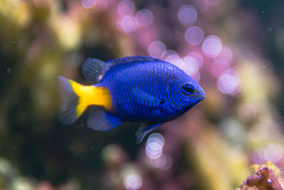 Damselfish Care Guide
