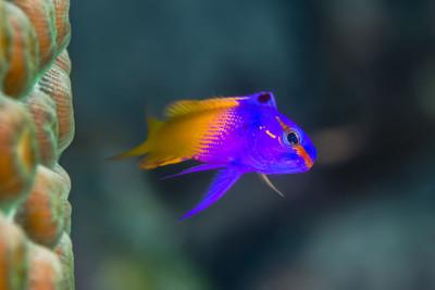 Royal Gramma Fish Care