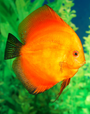 discus fish care
