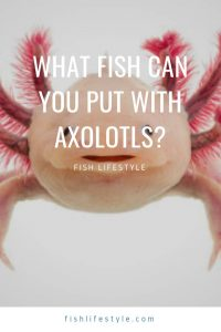 What Fish Can You Put With Axolotls?