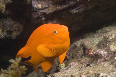 california garibaldi fish facts